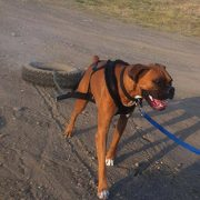 All breeds of dogs can benefit from weight pulling for overall fitness!
